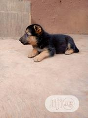 Baby Male Purebred German Shepherd Dog | Dogs & Puppies for sale in Ogun State, Abeokuta South