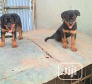 Baby Female Purebred Rottweiler   Dogs & Puppies for sale in Ogun State, Ipokia
