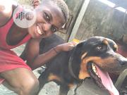 Adult Male Purebred Rottweiler | Dogs & Puppies for sale in Lagos State, Ajah
