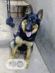 Young Male Purebred German Shepherd Dog | Dogs & Puppies for sale in Rivers State, Port-Harcourt