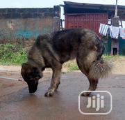 Adult Female Purebred Caucasian Shepherd Dog | Dogs & Puppies for sale in Ogun State, Ifo