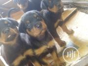 Young Male Purebred Rottweiler | Dogs & Puppies for sale in Ogun State, Sagamu