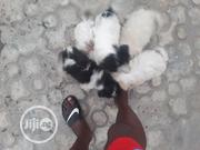 Baby Male Purebred Lhasa Apso | Dogs & Puppies for sale in Abuja (FCT) State, Nyanya