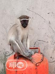 Monkey For Sale | Other Animals for sale in Lagos State, Alimosho