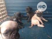 Baby Female Purebred Pug | Dogs & Puppies for sale in Lagos State, Lekki Phase 2