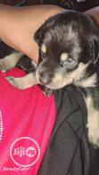 Baby Male Purebred Rottweiler | Dogs & Puppies for sale in Lagos Island, Lagos State, Nigeria