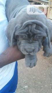 Baby Female Purebred Neapolitan Mastiff | Dogs & Puppies for sale in Abuja (FCT) State, Kubwa