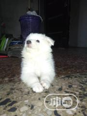 Baby Female Purebred American Eskimo Dog | Dogs & Puppies for sale in Abuja (FCT) State, Kubwa