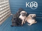 Baby Female Purebred Pug | Dogs & Puppies for sale in Abuja (FCT) State, Maitama