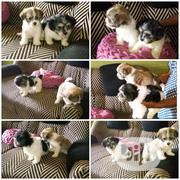 Baby Female Purebred Lhasa Apso | Dogs & Puppies for sale in Abuja (FCT) State, Lokogoma