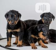 Baby Female Purebred Rottweiler | Dogs & Puppies for sale in Abuja (FCT) State, Lokogoma