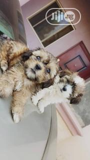 Baby Female Purebred Lhasa Apso | Dogs & Puppies for sale in Abuja (FCT) State, Wuse 2