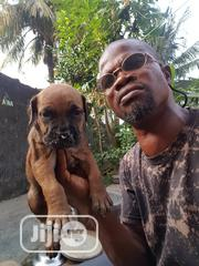 Baby Female Purebred Boerboel | Dogs & Puppies for sale in Abuja (FCT) State, Wuse 2