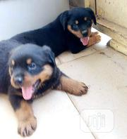 Young Female Purebred Rottweiler   Dogs & Puppies for sale in Abuja (FCT) State, Abaji