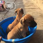 Baby Female Purebred Boerboel | Dogs & Puppies for sale in Oyo State, Akinyele