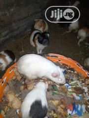 Guinea Pigs | Pet's Accessories for sale in Lagos State, Lagos Mainland