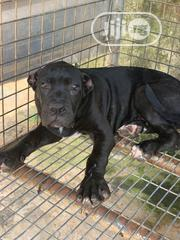 Senior Male Purebred Cane Corso | Dogs & Puppies for sale in Lagos State, Alimosho