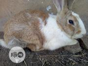 Breed Rabbits For Sale. | Livestock & Poultry for sale in Osun State, Osogbo