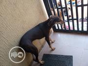 Young Female Purebred Doberman Pinscher | Dogs & Puppies for sale in Edo State, Ikpoba-Okha