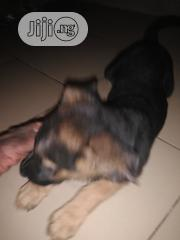 Young Male Purebred German Shepherd Dog | Dogs & Puppies for sale in Abuja (FCT) State