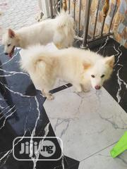 Adult Male Purebred Samoyed | Dogs & Puppies for sale in Delta State, Isoko