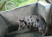 Pigs Available   Livestock & Poultry for sale in Oyo State, Afijio