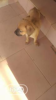 Young Female Purebred Boerboel | Dogs & Puppies for sale in Oyo State, Ibadan