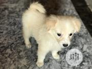 Baby Male Purebred American Eskimo Dog | Dogs & Puppies for sale in Oyo State, Ibadan