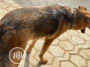 Adult Female Purebred German Shepherd Dog | Dogs & Puppies for sale in Lagos State, Ikorodu