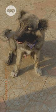 Young Male Purebred Caucasian Shepherd Dog | Dogs & Puppies for sale in Edo State, Ikpoba-Okha