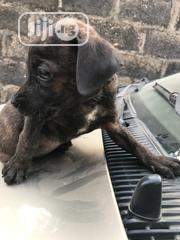 Baby Male Mixed Breed Boerboel | Dogs & Puppies for sale in Ogun State, Ijebu Ode