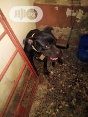 Adult Female Purebred Cane Corso | Dogs & Puppies for sale in Lagos State, Ikorodu