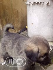 Baby Male Mixed Breed Caucasian Shepherd Dog | Dogs & Puppies for sale in Rivers State, Obio-Akpor
