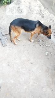 Adult Female Purebred German Shepherd Dog | Dogs & Puppies for sale in Lagos State, Ikeja