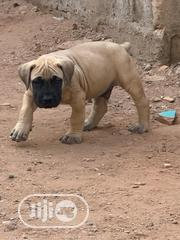 Baby Male Purebred Boerboel | Dogs & Puppies for sale in Lagos State, Lekki Phase 1