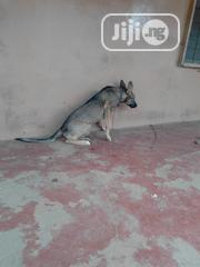 Senior Male Purebred German Shepherd Dog | Dogs & Puppies for sale in Edo State, Egor
