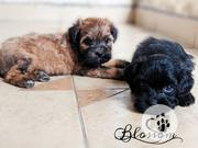 Baby Male Purebred Lhasa Apso | Dogs & Puppies for sale in Rivers State, Port-Harcourt