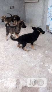 Baby Female Purebred German Shepherd Dog | Dogs & Puppies for sale in Edo State, Ikpoba-Okha