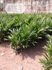 Oil Palm Seedlings | Feeds, Supplements & Seeds for sale in Abuja (FCT) State, Gwagwalada