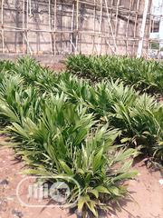 Oil Palm Seedlings For Sale | Feeds, Supplements & Seeds for sale in Abuja (FCT) State, Gwagwalada