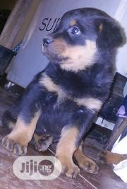Baby Male Purebred Rottweiler | Dogs & Puppies for sale in Oyo State, Lagelu