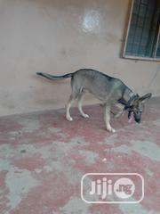 Adult Male Purebred German Shepherd Dog | Dogs & Puppies for sale in Edo State, Egor