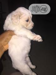 Baby Male Purebred Lhasa Apso | Dogs & Puppies for sale in Rivers State, Ikwerre