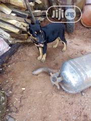 Baby Male Purebred German Shepherd Dog | Dogs & Puppies for sale in Edo State, Ikpoba-Okha