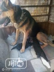Young Female Purebred German Shepherd Dog   Dogs & Puppies for sale in Abuja (FCT) State, Dutse-Alhaji