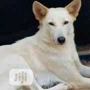 Adult Female Mixed Breed German Shepherd Dog | Dogs & Puppies for sale in Osun State, Osogbo
