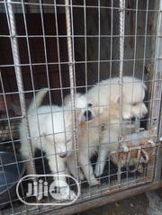 Baby Female Purebred American Eskimo Dog | Dogs & Puppies for sale in Oyo State, Ogbomosho North