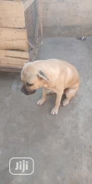 Adult Male Purebred Boerboel | Dogs & Puppies for sale in Oyo State, Akinyele