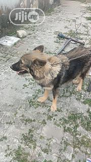 Adult Female Purebred Caucasian Shepherd Dog | Dogs & Puppies for sale in Rivers State, Port-Harcourt