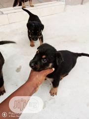 Baby Male Mixed Breed Rottweiler | Dogs & Puppies for sale in Abia State, Aba North